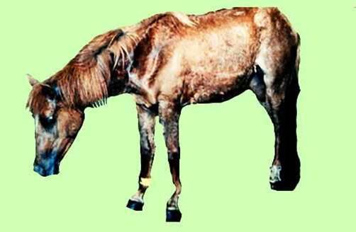 مرض الحصان الأفريقي African horse sickness : هبوط