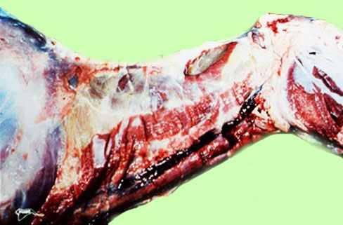 مرض الحصان الأفريقي African horse sickness : وذمة النسيج تحت الجلدي و لفائف عضلات العنق