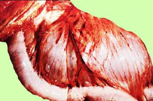 مرض الحصان الأفريقي African horse sickness احتقان شديد لآوعية المساريقا و قليل من ألآنزفة الدبوسية