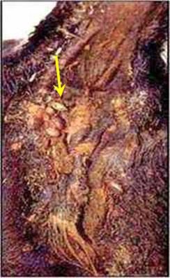 رض الأنابلازما (Anaplasma) صورة (3) : الإنتقال بواسطة القراد و الذباب الماص للدم