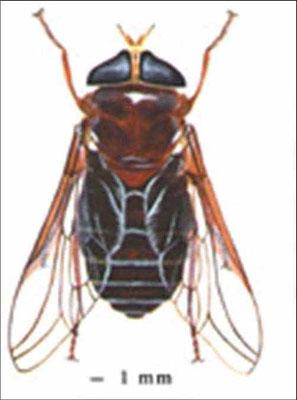 ذبابة الأسطبل (التبانس)