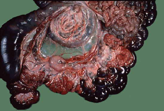 صورة( 9 ) : أمعاء وغدد ليمفاوية غنمة