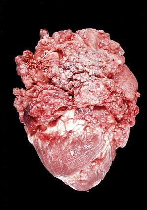 tuberculosis صورة( 28 ) : قلب وغشاء التامور لبقرة الالتهاب السلي لغشائي التامور فوق وحول عضلة القلب عناقيد العنب السلية