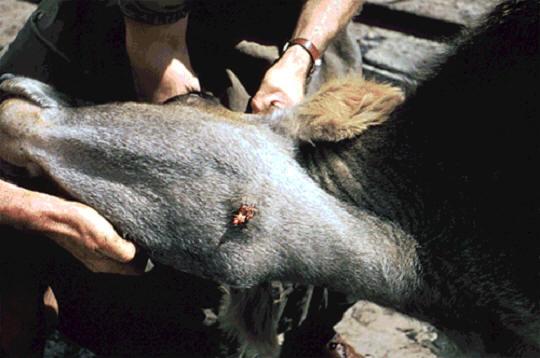 صورة (3) Actinobacillosis : المساحة بين الفكين لبقره حبيبوم صديدى لداء العصيات الشعاعيه