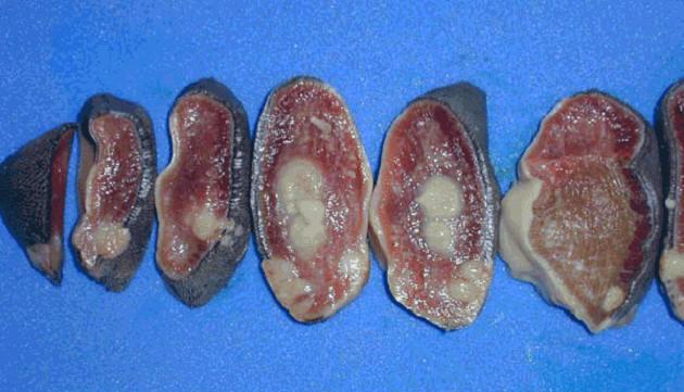 صورة (5) Actinobacillosis : التهاب اللسان الحبيبومى بداء العصيات الشعاعية فى بقره مقطع عرض فى اللسان يظهر الحبيبومات الصديديه