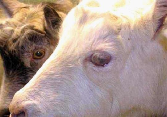 صورة (3) التهاب الغدة الليمفاويه المتجبن ( Caseous lymphadenitis) : سل كاذب في العين