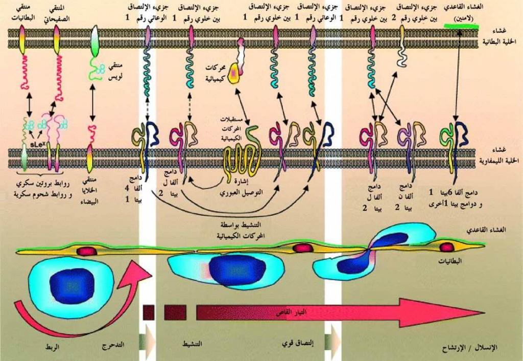 تجنيد الليمفاويات صوره (12)