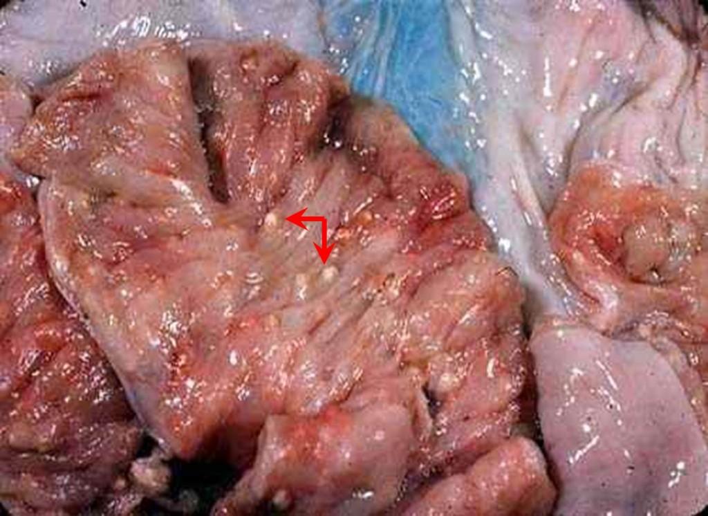 صورة (10) : خراريج صغيرة متعددة البؤر فى مخاطية رحم خنزير