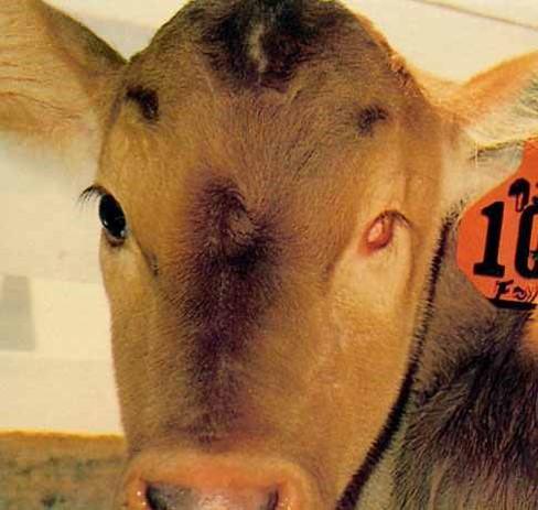 الإسهال الفيروسي البقري Bovine Viral Diarrhea العين الشمال لها حجاج صغير مع غياب تام لكرة العين.