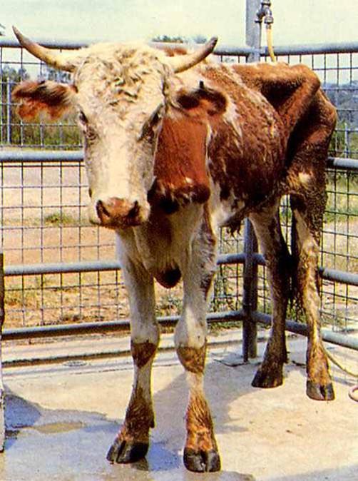 الإسهال الفيروسي البقري Bovine Viral Diarrhea: هزال عجل نتيجة عدوي دائمة و مرمنة