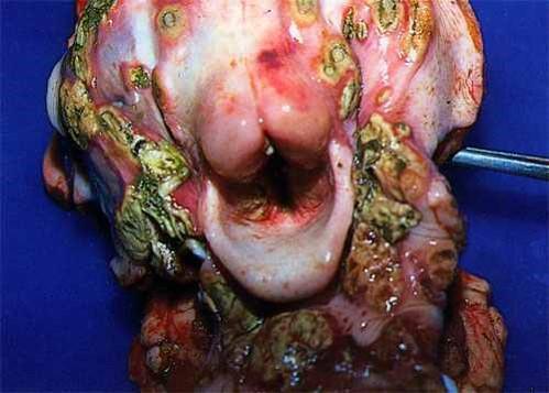 الإسهال الفيروسي البقري Bovine Viral Diarrhea