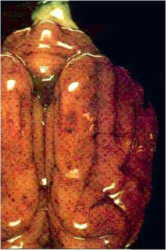 Viral abortion: Canine herpes virus فيروس الحلاء الكلابي : أنزفة دبوسية على الأغشية السحائية