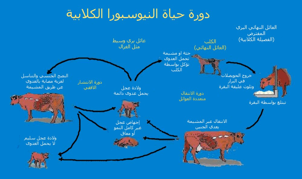 Neospora caninum دورة الحياة