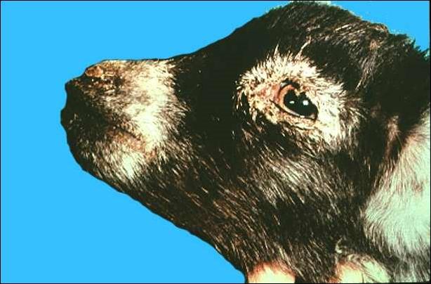 Peste des petitis ruminants طاعون المجترات الصغيره : موات واسع للطلائى حول العينين ، والأنف والفم