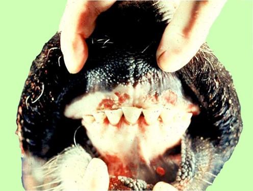 الإسهال الفيروسي البقري Bovine Viral Diarrhea تأكلات و قرح علي لثة بقرة.