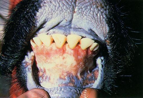 الإسهال الفيروسي البقري Bovine Viral Diarrhea تأكلات مبكرة علي لثة وشفايف عجل