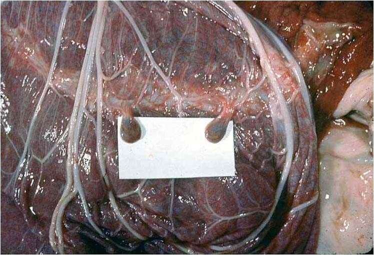 مشيمة الخيول placenta حويصلات لقانقية من الحزام المشيمي البرانى