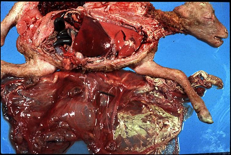 umbilical torsion : مشيمة جنين نعجة وذم المشيمة مع مساحة كبيرة لونها أخضر مبيض باهت مع انبعاث رائحة الأمونيا من الغشاء الجنينى السلى