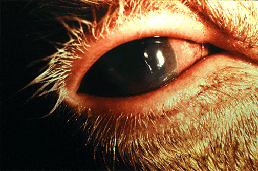 Malignant Catarrhal Fever الحمى النزليه الخبيثة : احمرار جفن العين و الملتحمة