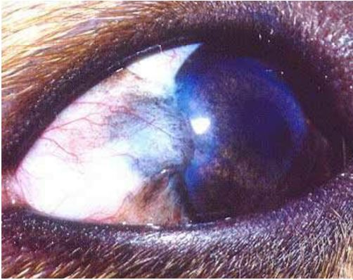 11-eye-tumor ورم خلايا الميلانين (melanoma ) في عين كلب.