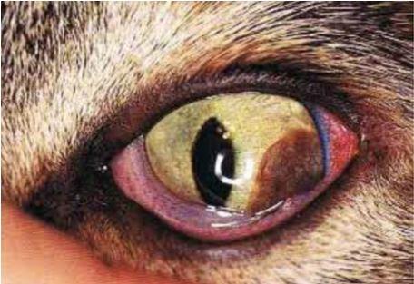 13-eye-tumor ورم خلايا الميلانين في قزحيه قطه