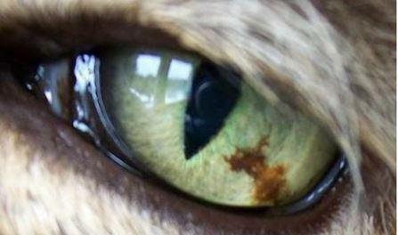 14-eye-tumor مرض التلون الحميد (benign melanosis) في عين قطه.