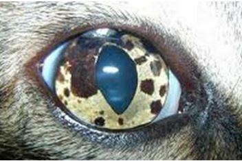 15-eye-tumor مرض التلون الحميد في عين قطه.