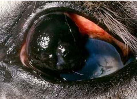 16-eye-tumor ورم خلايا الميلانين الحميد في عين حصان.