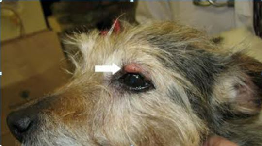 سرطان الخلايا القاعديه في عين كلب eye-tumor