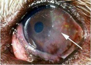 التهاب القرنيه في كلب وبها (pannus) متقطعه مزينه