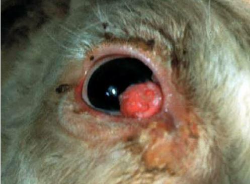 eye-tumor سرطان الخلايا الحرشفيه في ماشيه بيضاء اللون