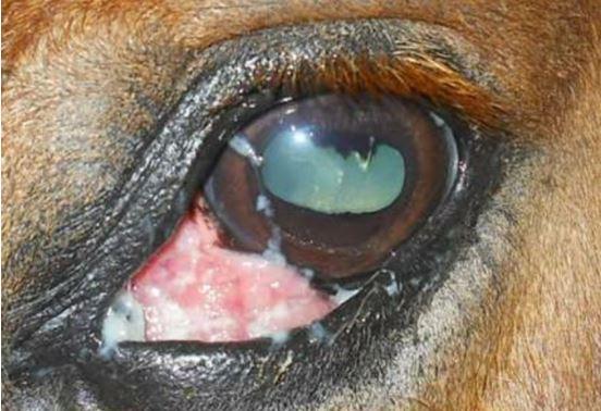 eye-tumor سرطان الخلايا الحرشفيه في عين حصان