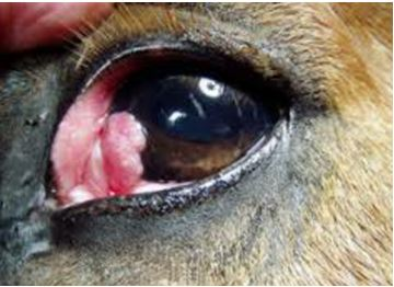 9-eye-tumor سرطان الخلايا الحرشفيه في الجفن الثالث لحصان