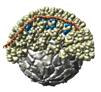 مرض اللسان الأزرق Blue tongue : حامض الريبوز النووى الفيروسى يلتصق الى خارج قفصيه الفيروس