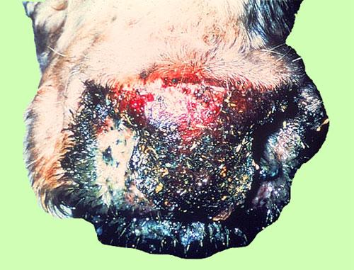 اللسان الأزرق فى الايقار Blue tongue : خطم بقرة مغطى بقشور واحتقان النسيج المتآكل .