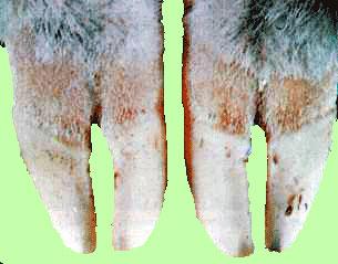 اللسان الأزرق فى الأفنام Blue tongue : احمرار الحزام التاجى نتيجة للأنزفة .