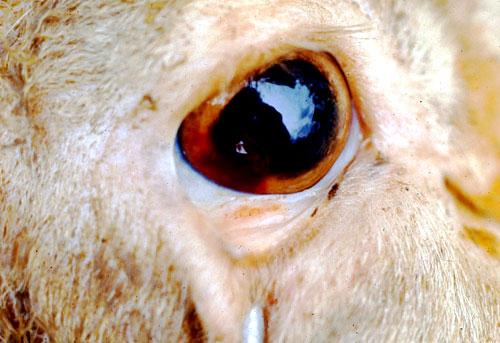اللسان الأزرق فى الأغنام Blue tongue: بؤر من النزيف على مقلة العين وملتحمة الجفن .