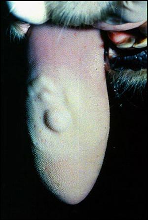 Foot and mouth diseases حمى قلاعية : بقرة - مساحات شاحبة بيضاء مرتفعه على اللسان ( حويصلات )