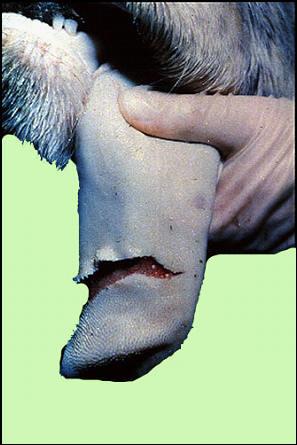 Foot and mouth diseases حمى قلاعية : بقرة - لسان بحويصلة كبيرة منفجرة