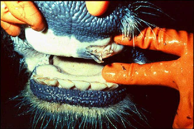 Foot and mouth diseases حمى قلاعية : بقرة - حويصلة منفجرة على لثة الوسادة السنية