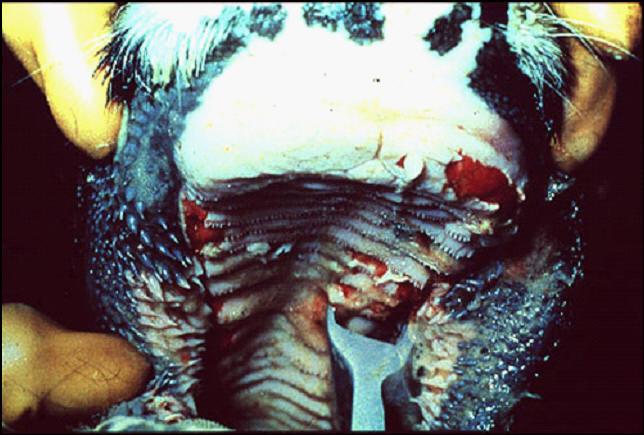 Foot and mouth diseases حمى قلاعية : بقرة - حويصلات منفجرة و فضلات طلائية على الوسادة السنية وسقف الفم الصلب