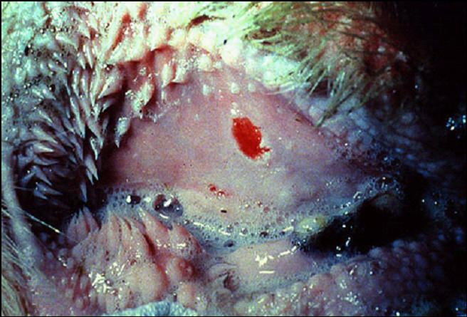 Foot and mouth diseases حمى قلاعية : بقرة - حويصلة منفجرة حديثا على اللثة