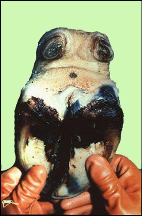 Foot and mouth diseases حمى قلاعية : بقرة - شحوب وحويصلات على طول وفوق الحزام التاجى للأصابع حويصلة فى المسافة بين الإصبعين .