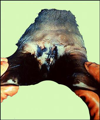 Foot and mouth diseases حمى قلاعية : بقرة - شحوب وحويصلات على طول وفوق الحزام التاجى للإصبعين حويصلة فى المسافة بين الإصبعين.