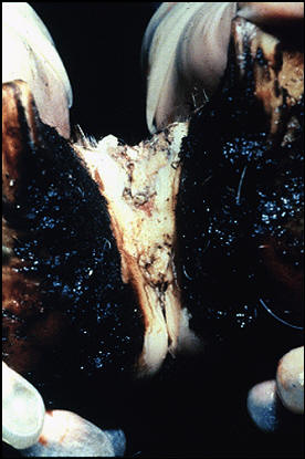 Foot and mouth diseases حمى قلاعية : بقرة - حويصلات منفجرة فى المسافة بين الإصبعين .