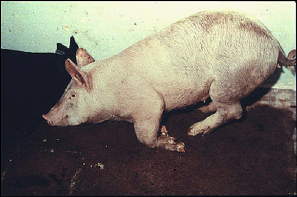 خنزير - وضع الخنزير يوحى بأقدام مؤلمه .