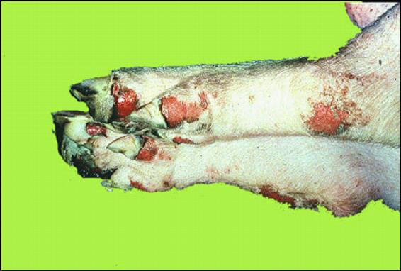 خنزير - تآكلات فى مؤخره المسافات الكاحليه (Tarsal) وأمام المسافات الرسغيه (Carpal)