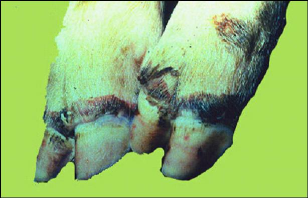 خنزير - إصابات قديمة بسطح جاف .