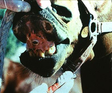 التهاب الفم الحويصلى في الخيول Vesicular stomatitis : تآكلات وحويصلات منفجرة على اللثة .