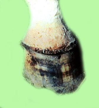 التهاب الفم الحويصلى في الخيول Vesicular stomatitis : تآكلات ونتح جاف على الحزام التاجى